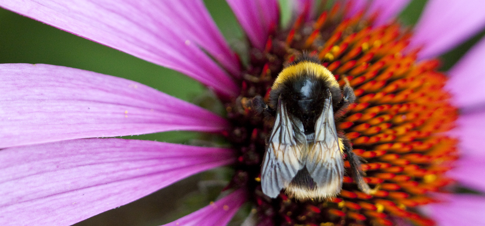 Bee on Echinacea purpurea 'Magnus'