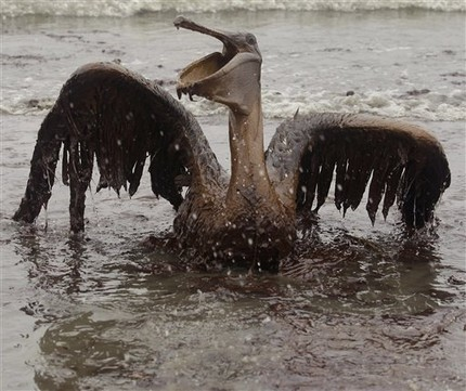 100605091242BP_Gulf_Oil_Spill_Affected_Wildlife_Images30